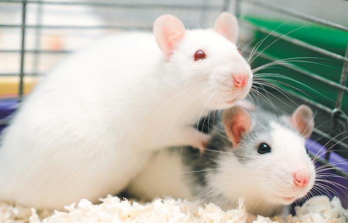 Как выбрать лучший отпугиватель крыс и мышей